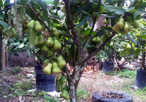 Jual Bibit Jambu Air Madu Deli