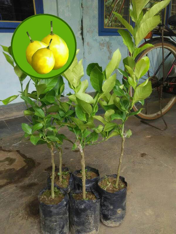Jual Bibit Jeruk Lemon Amerika
